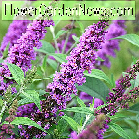 Buddleja 'Orchid Annie' (Butterfly Bush)