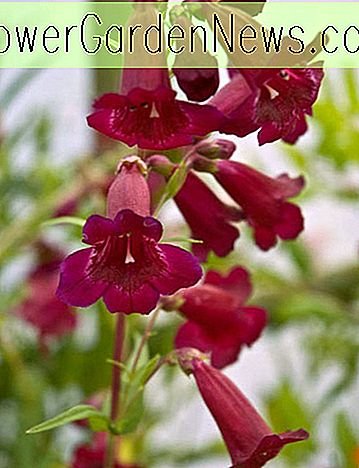 Penstemon 'Rich Ruby' (Bartfaden)