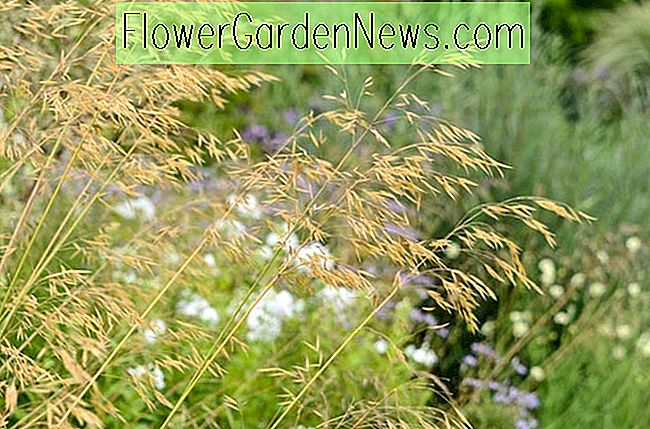 Stipa gigantea (Goldener Hafer)