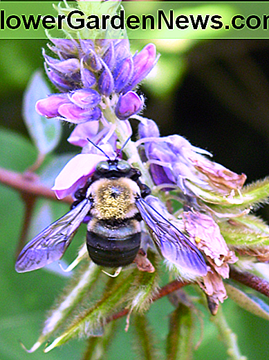 Carpenter Bees are important pollinators, but if they infest your home you must get rid of them.