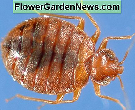 This is an adult bed bug, probably loaded with eggs that will grow up to be adult bed bugs if you don't get rid of them!