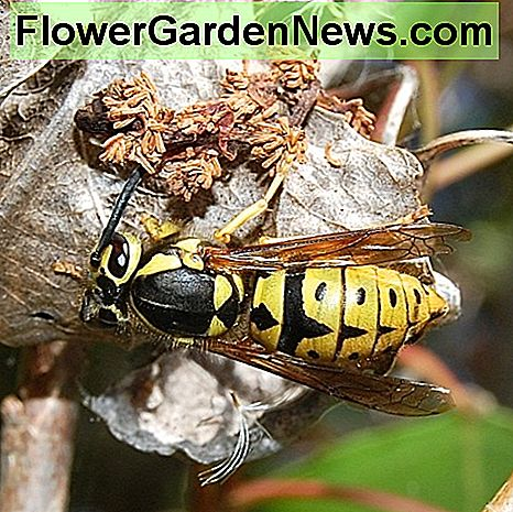 A western yellow jacket queen (Vespula pensylvanica) in North America: yellow jackets are a type of wasp but aren't hornets.