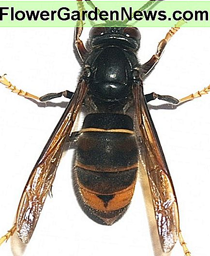 The Asian Hornet or Vespa velutina