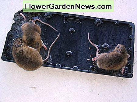 Mice on glue traps are stressed due to partial or total immobilization and may gnaw off appendages or else slowly starve and experience painful dehydration symptoms.