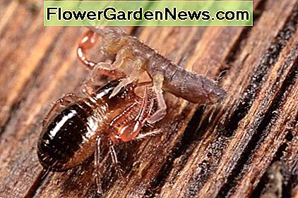 Pseudoscorpions feed on a variety of insects, along with arthropods. In this photo, the pseudoscorpion is feasting on a springtail.