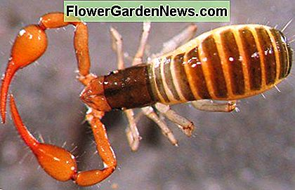 Pseudoscorpions are only about a half-inch long, which includes their pincers. They are harmless to humans and pets, so if you see one indoors, simply pick it up and relocate it outdoors.