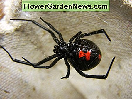 A female southern black widow with its distinctive red hourglass marking. Despite being highly venomous, bites from female widows are rarely fatal. These spiders feed on a variety of insects, as well as woodlice and other spiders.