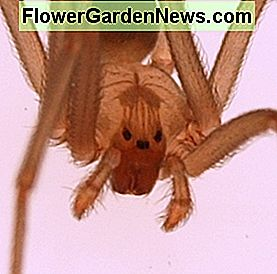 A brown recluse close up. Note that unlike most spiders, the recluse has three pairs of eyes. The spider has a number of nicknames, including: fiddleback spider, brown fiddler, and the violin spider. Small in size, the spider is highly venomous.