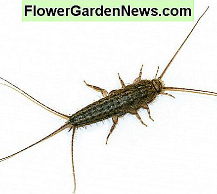 Ctenolepisma lineata or the four-lined silverfish is also a household pest.