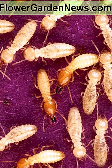 Formosa subterranean termites are the most common source of termite damage in the U.S., including Hawaii.