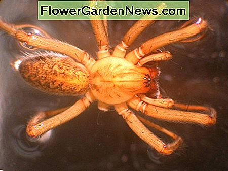 Hobo spiders have 8 eyes, like most spiders, whereas brown recluses have 6.