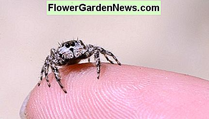 Jumping spiders are very small.