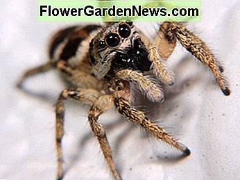 Jumping spiders have a charming appearance.