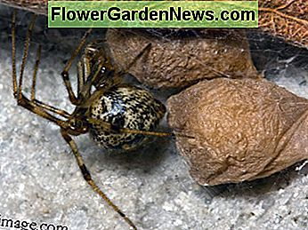 Round and shiny, the common house spider can be confused for a black widow at first glance.