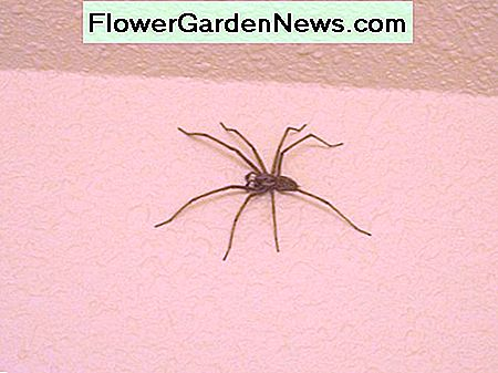 Giant house spiders grow to be much larger than Hobo spiders.