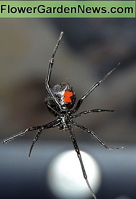 Black widows are Nature's very own pest controllers.