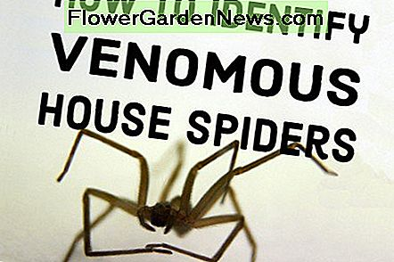 Hvordan man identificerer venomous House Spiders