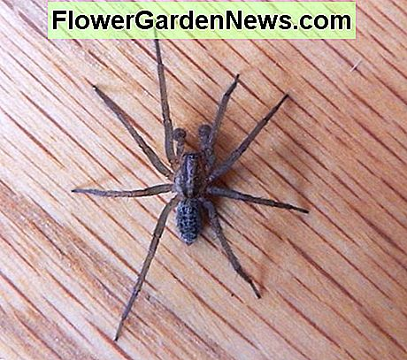 The hobo spider.