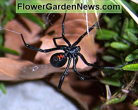Amerikaanse giftige spinnen: Black Widow, Brown Recluse, & Hobo