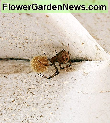 A brown widow and her egg sac.
