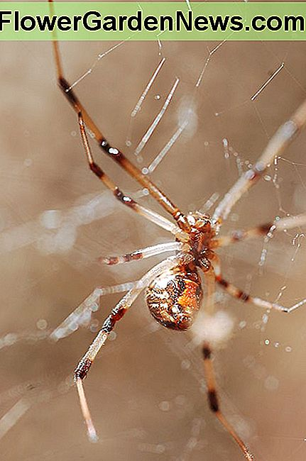 A brown widow spider in its web.