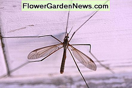 Crane fly from the insect family Tipulidacea is often referred to as