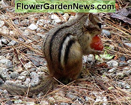 Chipmunk stealing a strawberry.