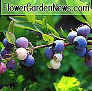Vaccinium Angustifolium, Lowbush Blueberry, Low-Bush Blueberry, Late Sweet Blueberry, Wild Blueberry, Berries,