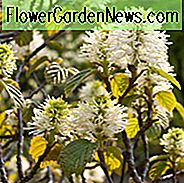 Fothergilla Major, Mountain Witch Alder, Large Fothergilla, Tall Fothergilla