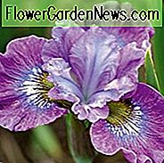 Siberian Iris Strawberry, Iris Siberica Strawberry Fair, syberyjska flaga Strawberry Fair, Fioletowe kwiaty, Lawenda Flowers, Purple Iris, Lawenda Iris