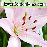 Lilium 'Tiny Todd', Lily 'Tiny Todd', Asiatisk Lily 'Tiny Todd', Dværg Asiatisk Lily 'Tiny Todd', Asiatiske Hybrider, Asiatiske Lilies, Pink Lilies, Dwarf Lilies, Lily Flower, Lily Flower