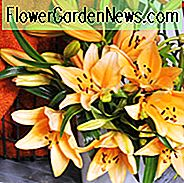 Lilium 'Brunello', Lily 'Brunello', Asiatiske Lily 'Brunello', Asiatiske Hybrider, Asiatiske Lilies, Orange Lilies, Duftende Liljer, Lily Blomst, Lily Flower
