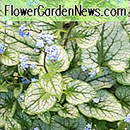 Brunnera Macrophylla, Siberian Bugloss, Hearleaf Brunnera, False Forgot-Me-Not, Jack Frost,