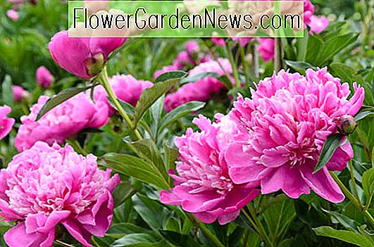 Award Winning Peonies