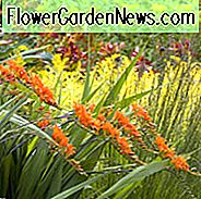 Crocosmia masoniorum, Coppertips, ดาวร่วง, Crocosmia AGM, Giant Montbretia, Crocosmia Masonorum