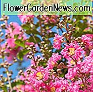 Lagerstroemia Indica 'Whit III' Pink Velour, Crape Myrtle 'Whit III' Pink Velour, busk, Pink Flowers, Pink Crape Myrtle