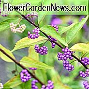Callicarpa Dichotoma, Purple Beautyberry, Strauch, lila Beeren, Mid-Atlantic Strauch