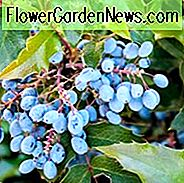 Oregon Grape Holly, Oregon Grape, Hollyleaved Barberry, Tall Oregon Grape, Hollyleaf Barberry