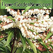 Pieris 'Brouwer's Beauty', japanische Andromeda 'Brouwer's Beauty', hybride Andromeda 'Brouwer's Beauty', Lily of the Valley Strauch