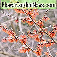 Hamamelis x Intermedia 'Diane', Zaubernuss 'Diane', Chinesische Zaubernuss 'Diane', Hamamelis x Intermedia 'New Red'