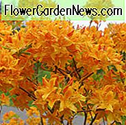 Rhododendron 'Golden Lights', 'Golden Lights' Rhododendron, 'Golden Lights' Azalea, Late Midseason Azalea, Deciduous Azalea, Orange Azalea, Orange Rhododendron, Orange Flowering Struik