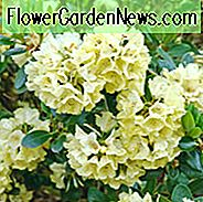 Rhododendron 'Goldkrone', 'Goldkrone' Rhododendron, 'Gold Crown' Rhododendron, Midseason Azalea, Midseason Azalea, Yellow Azalea, Yellow Rhododendron, Yellow Flowering Struik