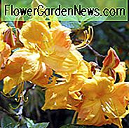 Rhododendron 'Klondyke', 'Klondyke' Rhododendron, 'Klondyke' Azalea, Deciduous Azalea, Early Midseason Azalea, Midseason Azalea, Yellow Azalea, Yellow Rhododendron, Yellow Flowering Struik