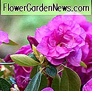Rhododendron 'April Rose', 'April Rose' Rhododendron, Early Season Rhododendron, Purple Azalea, Purple Rhododendron, Purple Flowering Shrub, Evergreen Rhododendron
