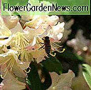 Rhododendron 'Mary Fleming', 'Mary Fleming' Rhododendron, 'Mary Fleming' Azalea, Evergreen Azalea, Early Midseason Azalea, Cream Azalea, Cream Rhododendron, Cream Flowering Struik