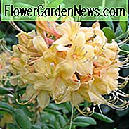 Rhododendron 'My Mary', 'My Mary' Rhododendron, 'My Mary' Azalea, Deciduous Azalea, Early Midseason Azalea, Yellow Azalea, Yellow Rhododendron, Yellow Flowering Struik