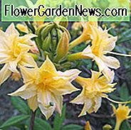 Rhododendron 'Narcissiflorum', 'Narcissiflorum' Azalea, Azalea 'Narcissiflorum', Deciduous Azalea, Late Midseason Azalea, Fragrant Azalea, Fragrant Rhododendron, Yellow Azalea, Yellow Rhododendron, Yellow Flowering Struik