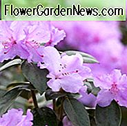 Rhododendron Praecox, 'Praecox' Rhododendron, Rhododendron × praecox, Early Season Rhododendron, Purple Rhododendron, Purple Flowering Shrub, Evergreen Rhododendron