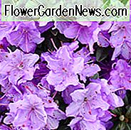 Rhododendron 'Ramapo', 'Ramapo' Rhododendron, Early Midseason Rhododendron, Evergreen Rhododendron, Purple Rhododendron, Purple Flowering Struik