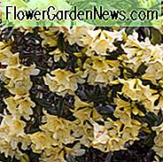 Rhododendron 'Saffron Queen', 'Saffron Queen' Rhododendron, Early Midseason Rhododendron, Fragrant Rhododendron, Yellow Rhododendron, Yellow Flowering Struik